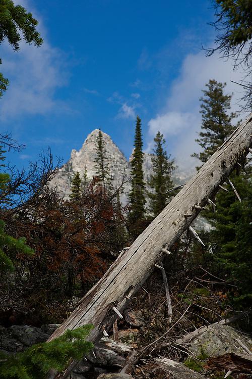Dead tree, on Jenny Lake Trail, at Grand Teton National Park, Wyoming