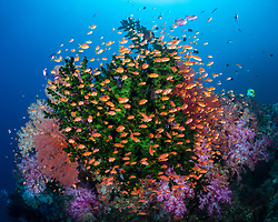 A school of Scalefin Anthias, Pseudanthias squamipinnis, hover in brisk current among branches of a Tubastraea Coral tree. Vatu-I-Ra, Bligh Water, Fiji, Pacific Ocean