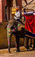 Mahout on painted elephant used to transport tourists to Amber Palace, near Jaipur, Rajasthan, India.