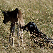 Wildebeest (Connochaetes taurinus) New born calf during migration in Serengeti National Park. Tanzania. Africa. February.