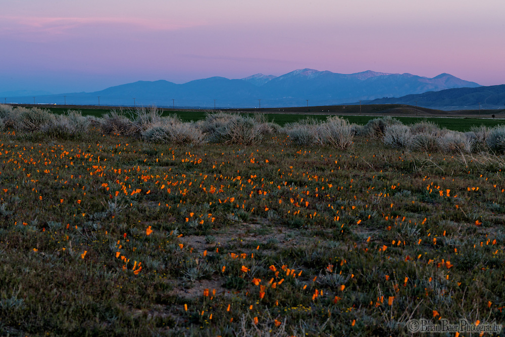 090-P92097<br /> <br /> Antelope Valley California Poppy Reserve<br /> © 2016, California State Parks.<br /> Photo by Brian Baer