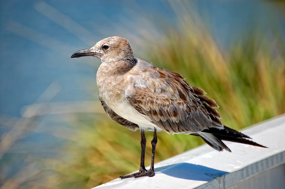 Young laughing gull resting on a rail on Boca Grande, Florida. Soon it will have its distinctive black head and white and grey body, and lose these brown feathers.