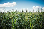 The organic corn grown for research by Bill Tracy is not as uniform because of the many different types of varieties tested and grown.