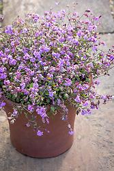 Terracotta container of Silene pendula Sibella Lilac
