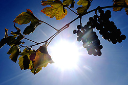 September 29, 2018 - Kutna Hora, Czech Republic - Grapes at vineyards plant on a sunny day of autumn in Kutna Hora in the Czech Republic. (Credit Image: © Slavek Ruta/ZUMA Wire)