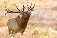 Huge bull Elk on a cold morning