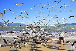 Milhares de Gaivotas na beira da Praia da Pinheira, Palhoça, SC.<br /> FOTO: Jefferson Bernardes / Preview.com