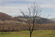 fruit tree in late fall early winter
