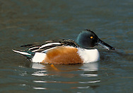 Shoveler - Spatula clypeata. L 44-52cm. Unmistakable because of bill shape. Usually unobtrusive. In flight, male shows blue forewing panel and white-bordered green speculum; in female, blue is replaced by grey. Sexes are dissimilar overall. Adult male has shiny green head, white breast and chestnut on flanks and belly. Stern is black and white and back is mainly dark. Has yellow eye and dark bill. In eclipse, resembles adult female although body is more rufous and head greyer. Adult female has mottled buffish brown plumage and yellowish bill. Juvenile is similar to adult female. Voice Male utters a sharp tuk-tuk while female makes a soft quack. Status Scarce breeding species on freshwater wetland. Commoner and more widespread in winter but seldom numerous.