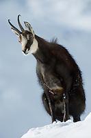 30.11.2008..Chamois (Rupicapra rupicapra). Rutting behaviour. Penis display...Gran Paradiso National Park, Italy