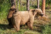 Brown bear and cub at Katmai National Park, Alaska.