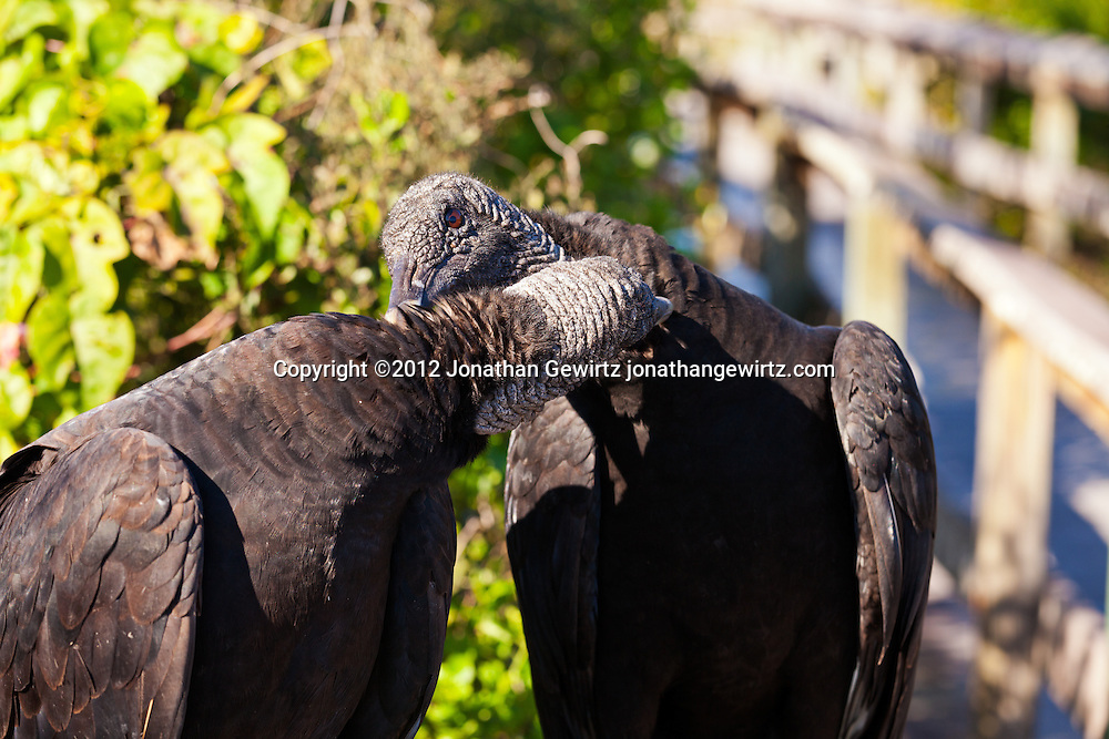 A pair of Black Vultures (Coragyps atratus) grooming each other in Everglades National Park, Florida. WATERMARKS WILL NOT APPEAR ON PRINTS OR LICENSED IMAGES.