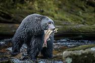Black bear, Great Bear Rainforest, British Columbia, Canada.