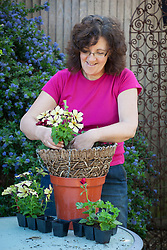 Planting up a hanging basket with summer bedding - pansies and pelargoniums