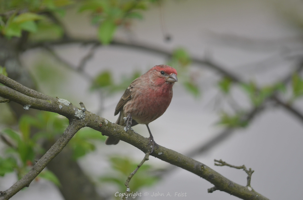 This little red finch was sitting in the tree outside my window in Hillsborough, NJ