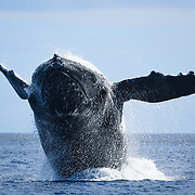 Frontal view of an adult female humpback whale (Megaptera novaeangliae) breaching. This female had a calf, and the pair both engaged in breaching for prolonged periods. Photographed in Vava'u, Kingdom of Tonga.