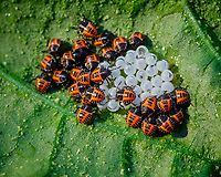 Stinkbug Hatchlings.Image taken with a Fuji X-T3 camera and 80 mm f/2.8 OIS macro lens (ISO 640, 80 mm, f/11, 1/120 sec).