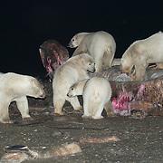 Polar Bears feeding on the carcass of a Bowhead Whale (Balaena mysticetus). Kaktovik, Alaska