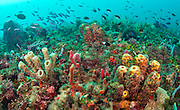 A thick carpet of sponges, algae and corals covers a healthy coral reef offshore Juno Beach, Florida, United States.
