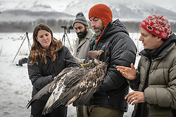 """Steve Lewis, Raptor Management Coordinator, U.S. Fish & Wildlife Service (center) prepares to open the wings of a juvenile bald eagle (Haliaeetus leucocephalus) so it may be photographed. Photos of a juvenile bald eagle's molting, particularly in the head and tail feathers, can help determine its age before it reaches maturity due to the sequential molting pattern eagles experience during the first five years of their life. Rachel Wheat, a graduate student at the University of California Santa Cruz (left), is conducting a bald eagle migration study of eagles that visit the Chilkat River for her doctoral dissertation. She hopes to learn how closely eagles track salmon availability across time and space. The bald eagles are being tracked using solar-powered GPS satellite transmitters (also known as a PTT - platform transmitter terminal) that attach to the backs of the eagles using a lightweight harness. Assisting is Dr. Chris Wilmers, associate professor, University of California Santa Cruz (right). Watching the procedure is Dr. Taal Levi, wildlife ecologist, Cary Institute of Ecosystem Studies (second from left). The latest tracking location data of this bald eagle known as """"2Z"""" can be found here: http://www.ecologyalaska.com/eagle-tracker/2z/ . During late fall, bald eagles congregate along the Chilkat River to feed on salmon. This gathering of bald eagles in the Alaska Chilkat Bald Eagle Preserve is believed to be one of the largest gatherings of bald eagles in the world."""