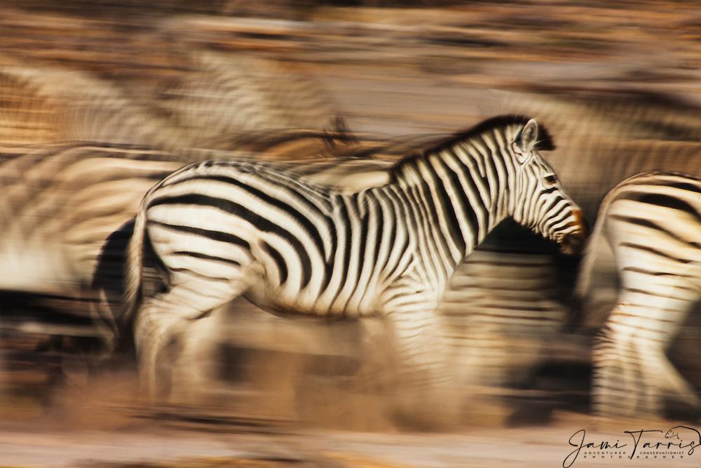 Burchell's zebra (Equus quagga) in motion, running at sunset, Botswana, Africa