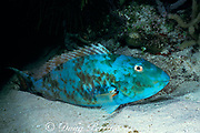 redtail parrotfish, terminal male phase or supermale<br /> Sparisoma chrysopterum, asleep at night<br /> Bahamas ( Atlantic Ocean )