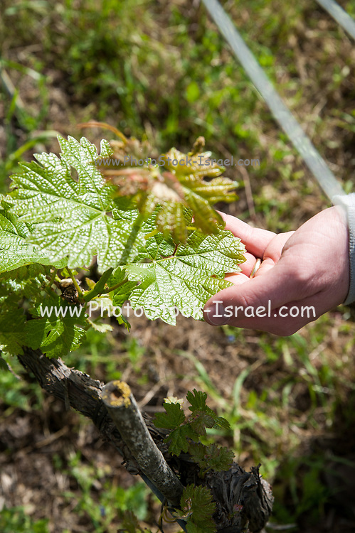 Inspecting the growth and health of the grapevines in a winery