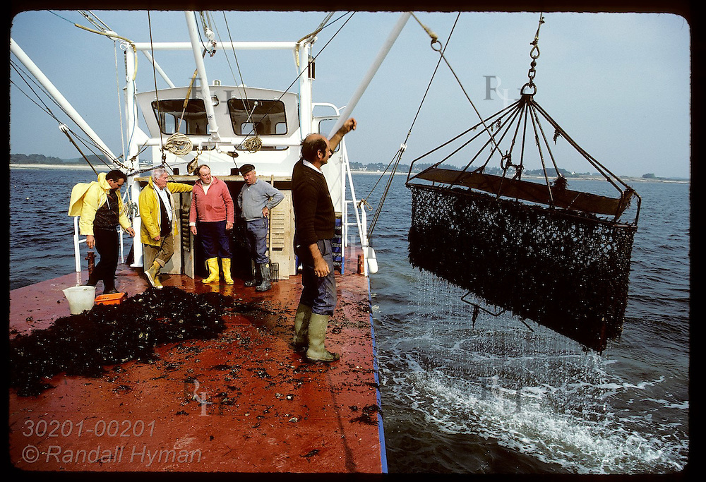 Oystermen dredge Quiberon Bay for scarce crop of flat oyster to sell to Spanish client, far left France