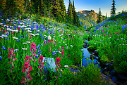 Wildflowers lining a creek along Naches Peak trail in Mount Rainier National Park