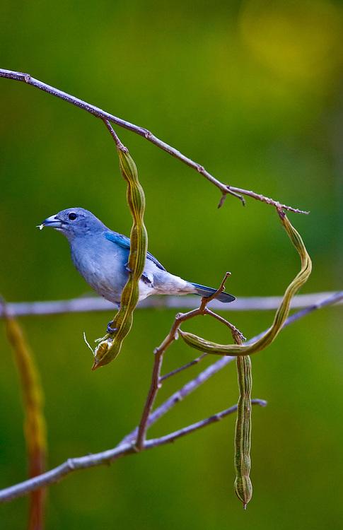Porto Seguro _ BA, Brasil...Sanhaco (Thraupis sayaca) no ingazeiro...The bird Sayaca Tanager (Thraupis sayaca) on the branch tree...Foto: JOAO MARCOS ROSA /  NITRO.