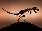 "Silhouette of the Tyrannosaurus called Stan.   This ""tyrant lizard king,"" was excavated and prepared by the Black Hills Institute and named after the discoveror, Stan Sacrison."