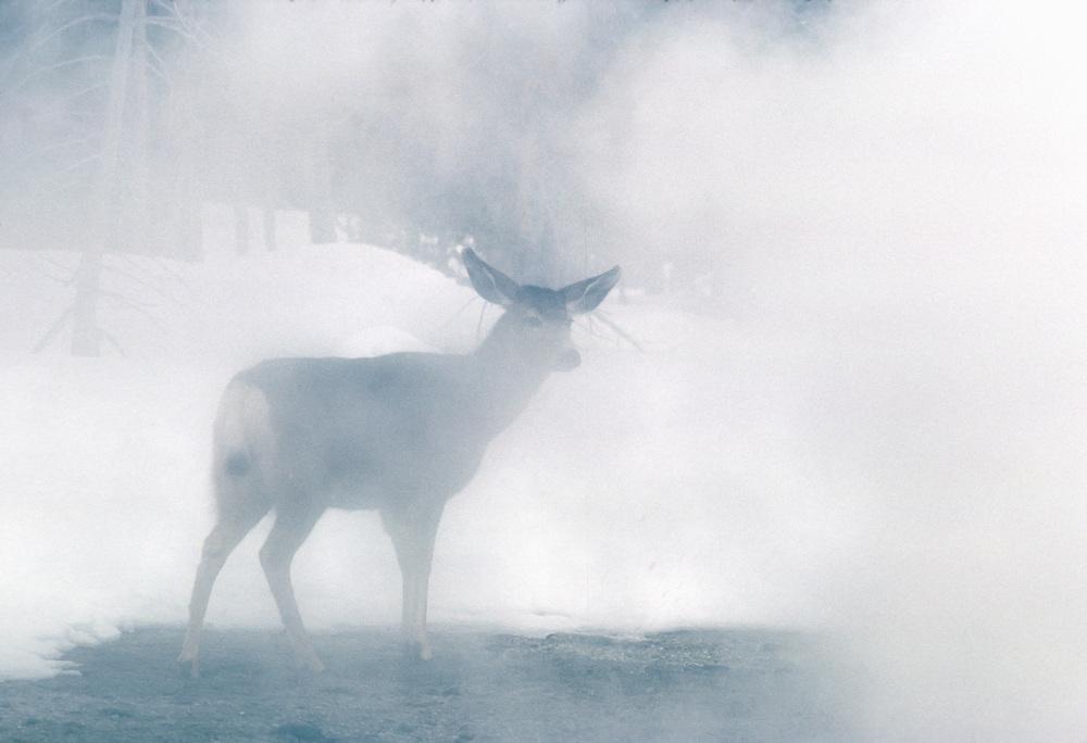 Mule deer, Firehoe Basin, Yellowstone National Parrk, Wyoming, USA
