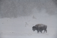 A bison walks through a meadow during a blizzard, Yellowstone.