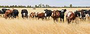 cows in field of long golden dry grass near Mitiamo, Victoria, Australia <br /> <br /> Editions:- Open Edition Print / Stock Image
