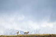 Pronghorn antelope herd, Grand Tetons, stormy day, Grand Teton National Park