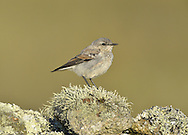 Northern Wheatear - Oenanthe oenanthe - Juvenile. L 14-16cm. Open-country bird. Reveals white rump and black-and-white tail in flight. In other respects, sexes are dissimilar. Adult male has blue-grey crown and back, black mask and wings, and pale underparts flushed orange-buff on breast. Adult female has mainly grey-brown upperparts, darkest on wings. Face, throat and breast are pale orange-buff and underparts are otherwise whitish. 1st winter birds have grey- to buffish brown upperparts and buffish underparts. Voice Utters a sharp chak alarm call, like two pebbles knocked together. Song is fast and warbling. Status Locally common summer visitor to moors and open grassland.