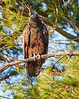 Turkey Vulture (Cathartes aura). Image taken with a Nikon D850 camera and 500 mm f/4 VR lens.