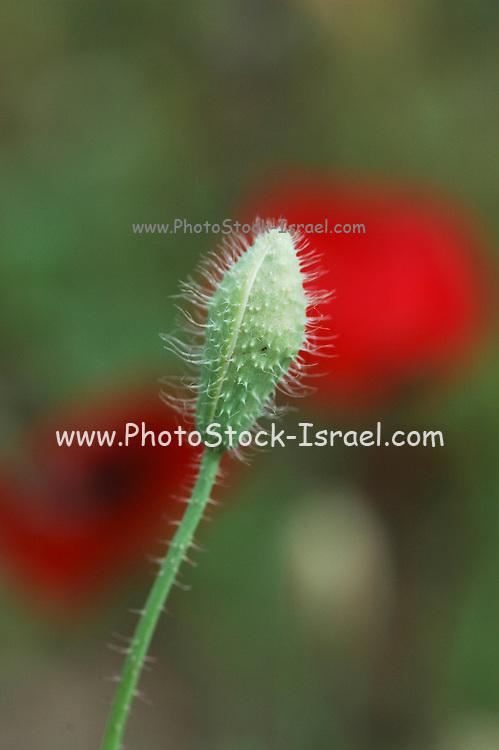 Israel, red poppies Papaver umbonatum Opening flower bud,