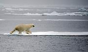 Polar Bear (Ursus maritimus) entering drift ice at 81 degrees north off Spitsbergen, Svalbard.