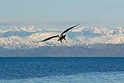Bald Eagle, Haliaeetus leucocephalus, flying, mountains, Kenai Peninsula, Homer Spit, Homer, Alaska. Digital original, #2006_1009 ©Robin Brandt