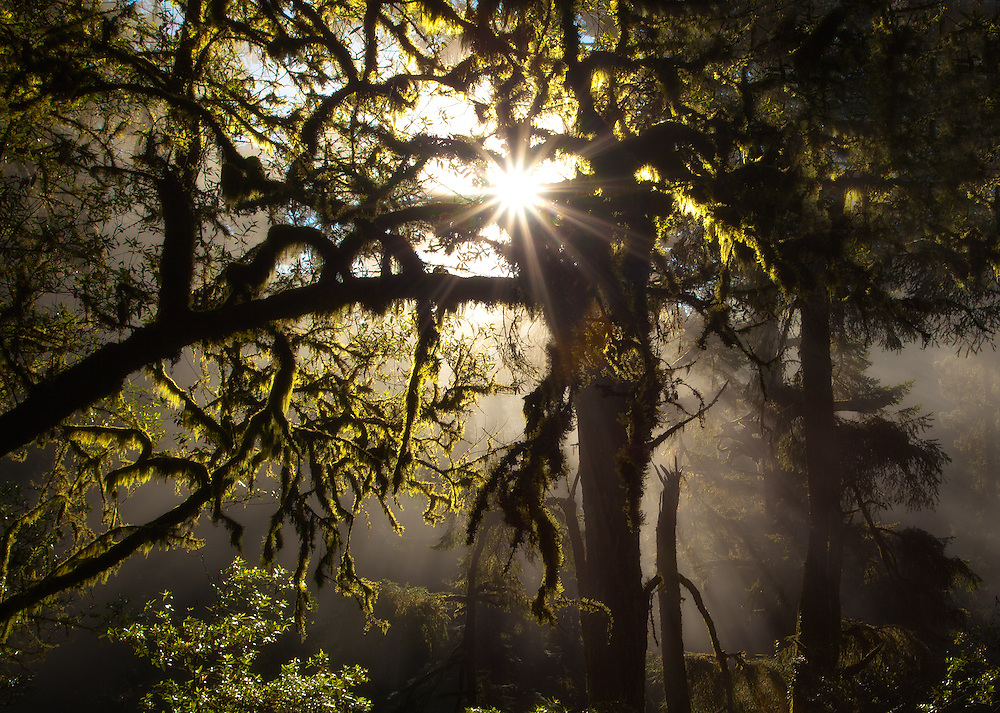 Mt. Tamalpais State Park in Marin county, northern california. Early morning sun bursting through the thick forest up on the mountain just north of San Francisco, California.