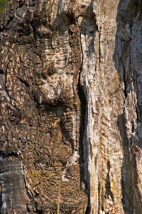 Old tree bark with cracks at the Olive oil mill Moulin du Calanquet de Saint St Remy de Provence, Bouche du Rhone, France