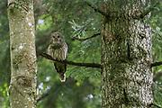Ural owl (Strix uralensis), Notranjska forest, Slovenia.