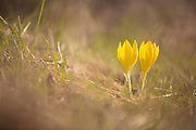 Sternbergia clusiana Fall Daffodil. This flower blooms for three weeks every year just after the first rains Photographed in Israel in November