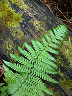 Woodland Fern Scapes