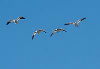 Snow Geese, Chen caerulescens, fly over Sacramento National Wildlife Refuge, California