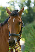 Clevland Bay cross Thoroughbred horse, Oxfordshire, The Cotswolds, England, United Kingdom