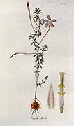 Oxalis hirta (Tropical Woodsorrel). Illustration from 'Oxalis Monographia iconibus illustrata' by Nikolaus Joseph Jacquin (1797-1798). published 1794