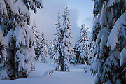 Trees in heavy snow in Red Heather Meadows, Garibaldi Provincial Park, British Columbia, Canada.