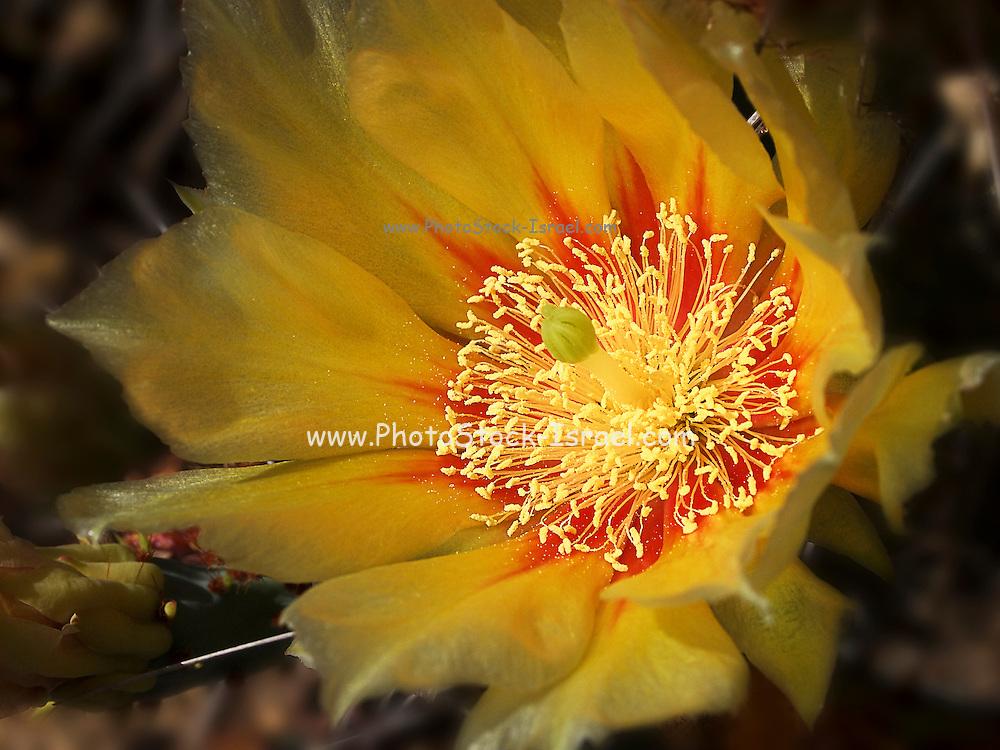 Israel, flowering Opuntia ficus-indica (Indian Fig Opuntia) AKA Tzabar